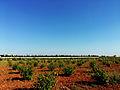Grapes fields.jpg