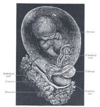 {{Gray's Anatomy plate|Fetus of about eight we...