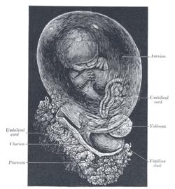Chorion - Wikipedia