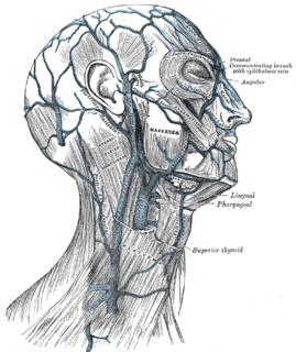 Pharyngeal veins