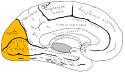 Gray727 occipital lobe.png