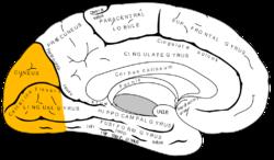Gray727 затылочной lobe.png