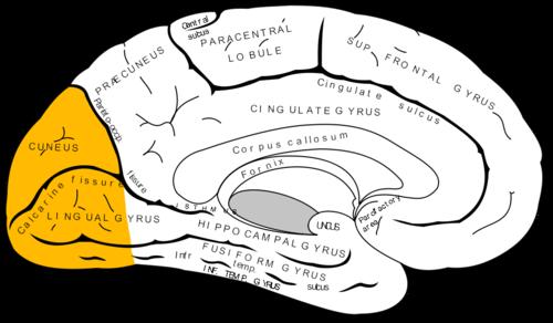 Occipital lobe - Wikiwand
