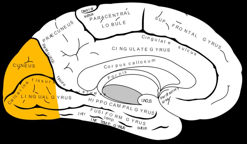 קובץ:Gray727 occipital lobe.png