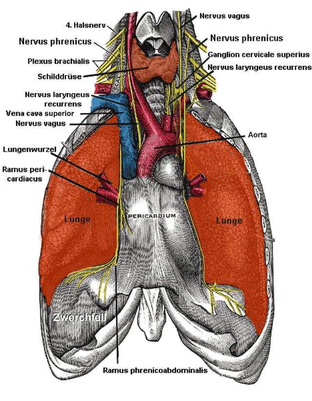 Nervus phrenicus - Wikiwand