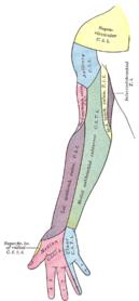 Innervationområder på højre arms forside.