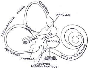Endolymphatic duct - The membranous labyrinth. (Ductus endolymphaticus labeled at bottom center.)