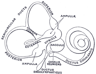 Membranous labyrinth system of tubes and chambers in the inner ear