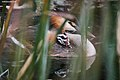 Great Crested Grebe , Among the Reeds - Flickr - birdsaspoetry.jpg