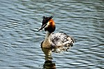 Great Crested Grebe - Lackford Lakes (26835102545).jpg