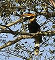 Great Hornbill AMSM6056.jpg