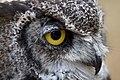 Great Horned Owl (6019438860).jpg