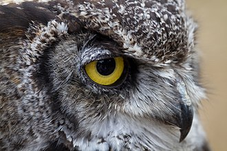Great horned owl - The eyes of great horned owls are amongst the largest of terrestrial vertebrates.