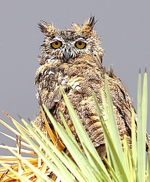 great horned owl with wet feathers waiting out a rainstorm - Picture Of Owl