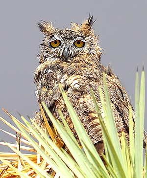Owl - Great horned owl with wet feathers, waiting out a rainstorm
