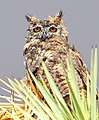 Great Horned Owl in a Rain Storm in the Mojave.jpg