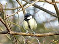 Great Tit (6847681694).jpg