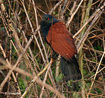 Greater Coucal I IMG 0726.jpg