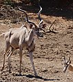 Greater Kudu (Tragelaphus strepsiceros) male and Springbok coming to drink ... (50216753663).jpg