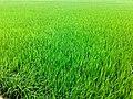 Green Crop Fields.jpeg