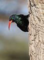 Green Wood Hoopoe, Phoeniculus purpureus, at Mapungubwe National Park, Limpopo, South Africa (30107831551).jpg