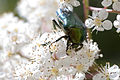 Green beetle on flower2.jpg