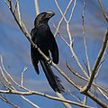 Grenada- Smooth-Billed Ani (4463656075).jpg