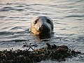 Grey Seal at Ravenscar - geograph.org.uk - 41544.jpg