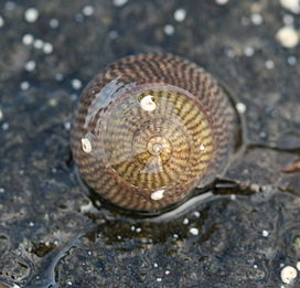Grey Top Shell (Gibbula cineraria) (5041775210).jpg