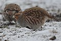 Grey partridge (40403952043).jpg