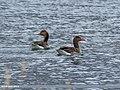 Greylag Goose (Anser anser) (41713036781).jpg