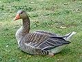 Greylag Goose (Anser anser) - geograph.org.uk - 1407123.jpg