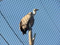 Griffon Vulture 02.JPG