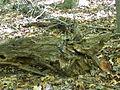 Griffy Woods - chipmunk in a log - P1100475.JPG