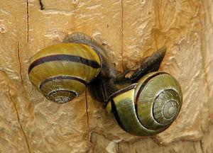 Grove Snails (Cepaea nemoralis), mating, Ottaw...