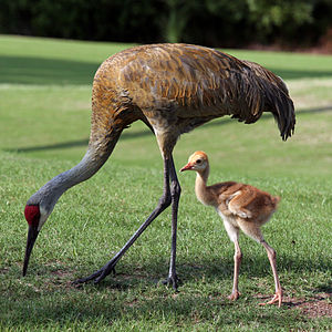 A adult Sandhill Crane with a chick