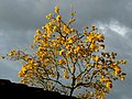 Guayacán amarillo (Tabebuia chrysantha) (14278654314).jpg