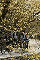Gurye Sansuyu Flower Festival in Spring - 4403561142.jpg