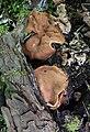 Gyromitra parma schildförmige lorchel 2.jpg