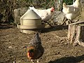Hühnerfamilie - panoramio.jpg