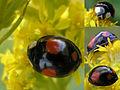 H-ax spectabilis - Boeldershoek 20060907 collage.jpg