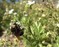H20150501-0030—Carpenter bee (Xylocopa sp) visiting Horkelia parryi—RPBG (17209413079).jpg
