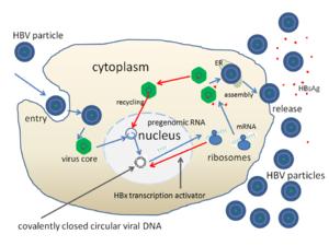 English: The replication cycle of Hepatitis B ...