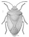 HEMI Pentatomidae Glaucias amyoti.png