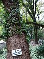 HKU Pok Fu Lam campus 香港大學 荷花池 Lily Pond Camphor Trees Dec-2015 DSC trunk n name sign.JPG