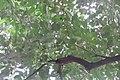 HK CWB 高士威道 Causeway Bay Road 維多利亞公園 Victoria Park tree Sept 2017 IX1 Candlenut 石栗 Aleurites moluccanus 02.jpg