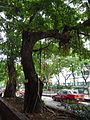 HK TST Nathan Road green Sidewalk Chinese Banyan trees Aug-2015 DSC (1).JPG