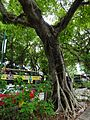 HK TST Nathan Road green Sidewalk Chinese Banyan trees Aug-2015 DSC (19).JPG