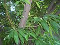 HK Tree Bole Botany Victoria Road Large green leaves.JPG