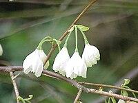 Halesia monticola0